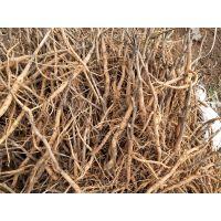 亳州油用牡丹苗栽培技术方法 牡丹种子价格 药美农业