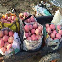 红富士苹果苗土栽