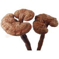 康瑞灵芝基地直销赤灵芝菌种 全国包邮