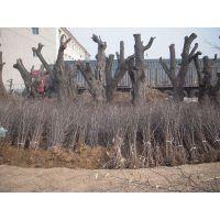 枣树苗批发价格低1.5-2.0cm直径