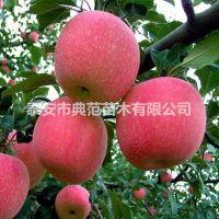 烟富6苹果苗价格 基地直供现挖现卖烟富6苹果苗