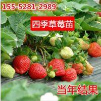 红颜草莓苗 章姬草莓苗 甜查理草莓苗 基地供应