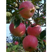 山东5代新红星苹果苗价格 红噶啦苹果嫁接树苗 苹果树苗批发基地