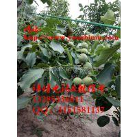 冠核三号核桃苗,亩产1000-1200斤干果,市面上优质的薄皮核桃苗