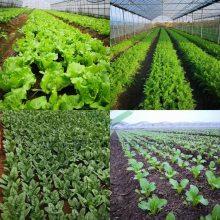 白萝卜、水萝卜、胡萝卜点播机 专业生产蔬菜点播机