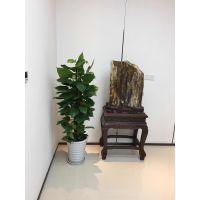 绿萝 供应上海写字楼 办公室绿植租赁租摆 室内绿化 室外景观 绿植养护 免费上门设计