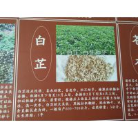 种植白芷一亩地需要多少斤公斤@今年纯新白芷籽批发