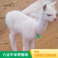 观赏羊驼租赁 进口羊驼养殖 厂家报价