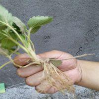 秋季预售草莓苗价格低廉 山东草莓苗新品种种植基地