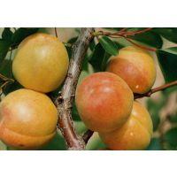 珍珠油杏哪有卖 珍珠油杏苗哪里种植比较好