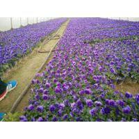 绿化草花种植批发基地