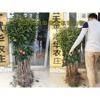 大果红花油茶嫁接苗哪里有批发 嫁接的红花油茶树苗价格