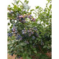 夏普蓝蓝莓苗栽培要点 夏普蓝蓝莓苗2018价格