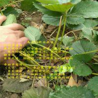 法兰地草莓苗方案