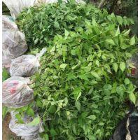 江苏棣棠种植基地 出售0.3米-1.2米高优质便宜的棣棠苗