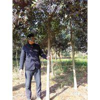 大叶女贞原产地直供6公分大叶女贞 苗圃现货树形优美