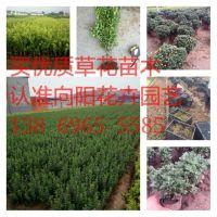 绿叶鸡冠花种植基地绿叶鸡冠花批发价格