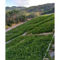 大量供应重庆路基边坡绿化四季常青草籽草种灌木销售