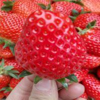 法兰地草莓苗概论