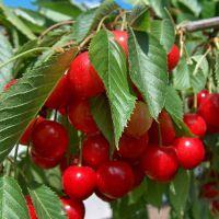 直销盆栽地栽嫁接樱桃苗珍珠樱桃树苗红樱桃苗庭院果树易成活果大