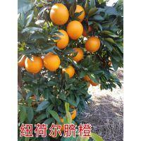 脐橙苗哪里的 纽荷尔脐橙2017年收购价
