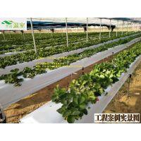草莓覆膜以后,温湿度调控要把握好。草莓大棚,建大棚价格,采摘园建设