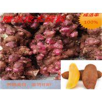 公司直供雪莲果种球 地参果 亚贡果 保健水果 雪莲果种子 种球