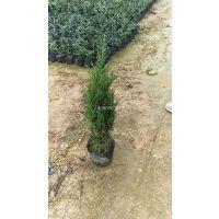 江苏塔柏地苗和袋苗(50公分)价格,长期出售,量大价优 塔柏绿化防护树