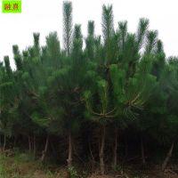 大量供应黑松小苗 40-50公分高 2-3米造型黑松价格