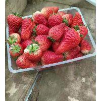 基地批发高产甜宝草莓苗 甜宝草莓苗多少钱一棵