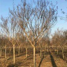 地径5公分紫薇百日红价格多少钱一棵风景树紫薇小苗基地