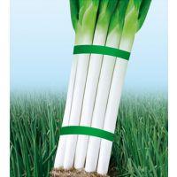供应河北时丰农业科技开发有限公司时丰大葱新品种(冀葱五号大葱A1)