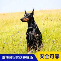 嘉祥县兴亿达优质特种杜宾犬工作犬养殖场价格