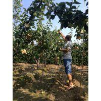 大果水晶梨苗新价格 大果水晶梨苗品种特点