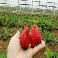 章姬草莓苗 红颜草莓苗 包成活 加冰发货 现起现卖 欢迎订购 适合南方种植 山东万亩丰茂苗木