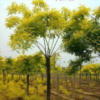 大量供应3-15公分的金枝槐 鄢陵永博花卉苗圃园长期供应各种绿化用树