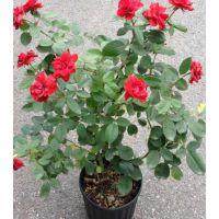 江苏月季花盆栽苗价格一般是多少钱
