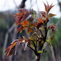 优质矮化红油香椿苗 大棚香椿苗木 易成活见效快