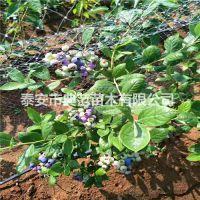 都克蓝莓苗 都克蓝莓苗价格 大量供应优质低价