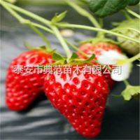 久香草莓苗价格 久香草莓苗 优质草莓苗品种