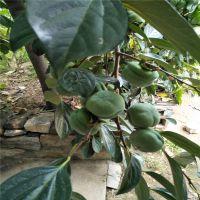 1公分柿子苗 1年甜柿子树苗哪里有卖