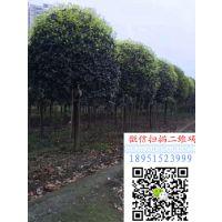 地径3公分桂花树价格报价15元桂花小苗多少钱一棵