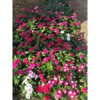 工厂绿化苗木工厂绿化花卉花坛常用草花工程用花基地供应