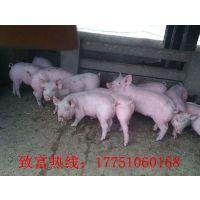 猪仔价格多少钱一斤,养猪能挣多少钱一头?