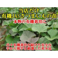 日本安纳红薯苗-安纳芋产地供应商