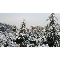 3米雪松树苗多少钱一棵4米雪松价格高度5米雪松南京价格