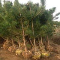黑松哪里有卖 江苏苗圃1-2-3米高黑松树苗量大价优