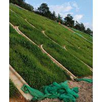 提供甘孜狗牙根草籽播种几天发芽