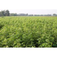复叶槭-植物种苗