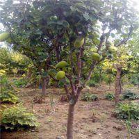 6公分木瓜树市场价格